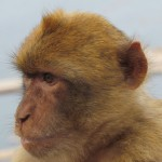 One of the Barbary Macaques on GIbraltar